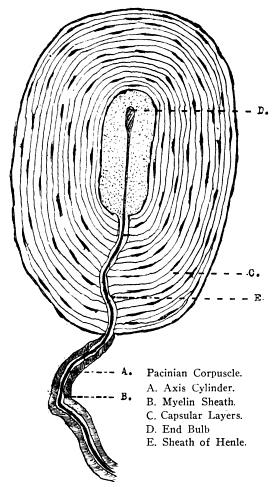 Meissner Corpuscle Diagram
